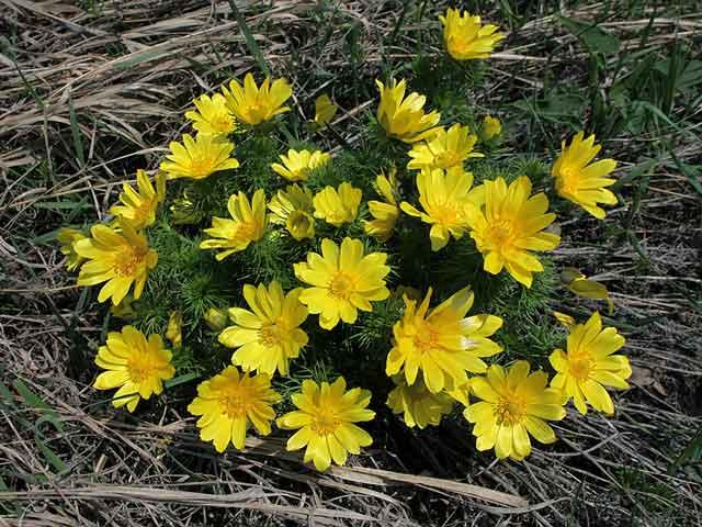 Горицвет весенний, черногорка, адонис фото