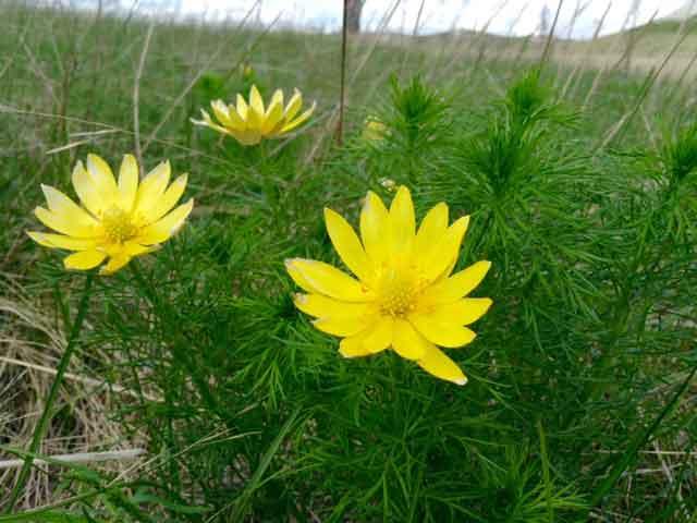 Горицвет весенний, черногорка, адонис применение