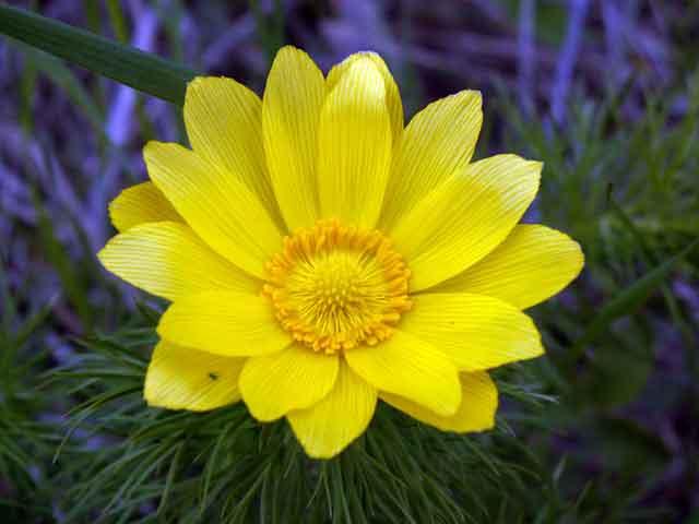 Горицвет весенний, черногорка, адонис сбор
