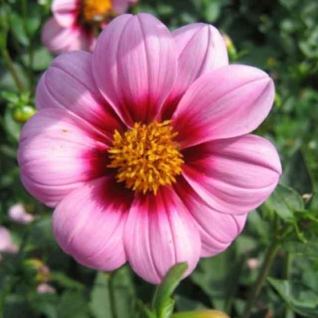 Георгины простые: описание вида и сорта. Мурилло.