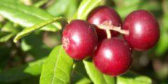 Брусника - полезные, лечебные свойства, фото
