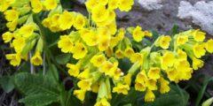 Первоцвет весенний (лекарственный) применение и фото